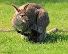 weiterer Bennet-Känguru Nachwuchs