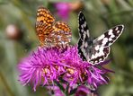 ...weiteres Bild der zwei Schmetterlinge auf den Distel-Blüten...