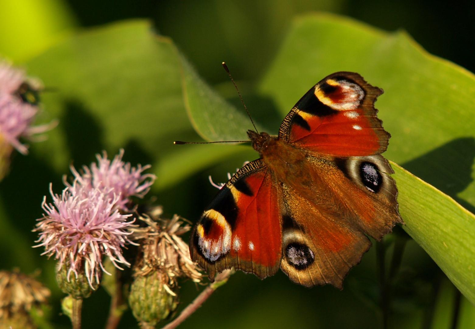 Weiteres vom Schmetterlingstag
