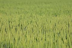 Weizen - Ansichten vom Frühjahr