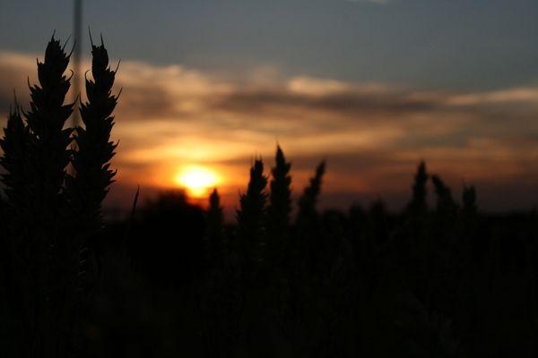Weizen im Sonnenuntergang