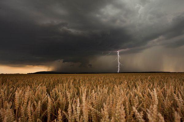 Weizen in Gefahr