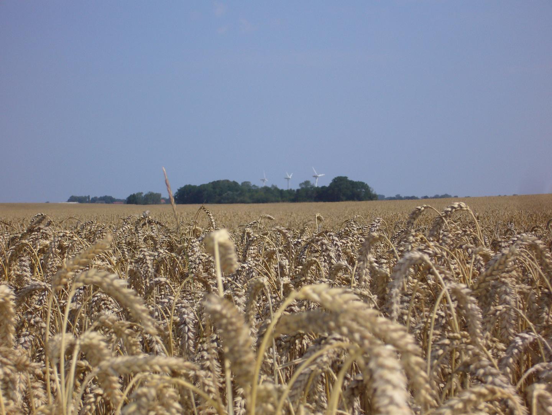 Weizenfeld auf Rügen
