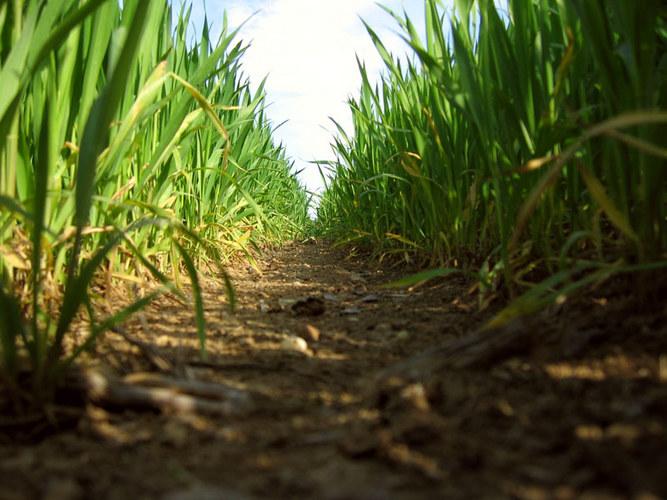 Weizenspalier