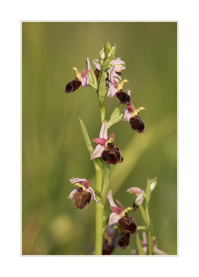 Welch ein Gedränge - Hummelragwurz (Ophrys holosericea)