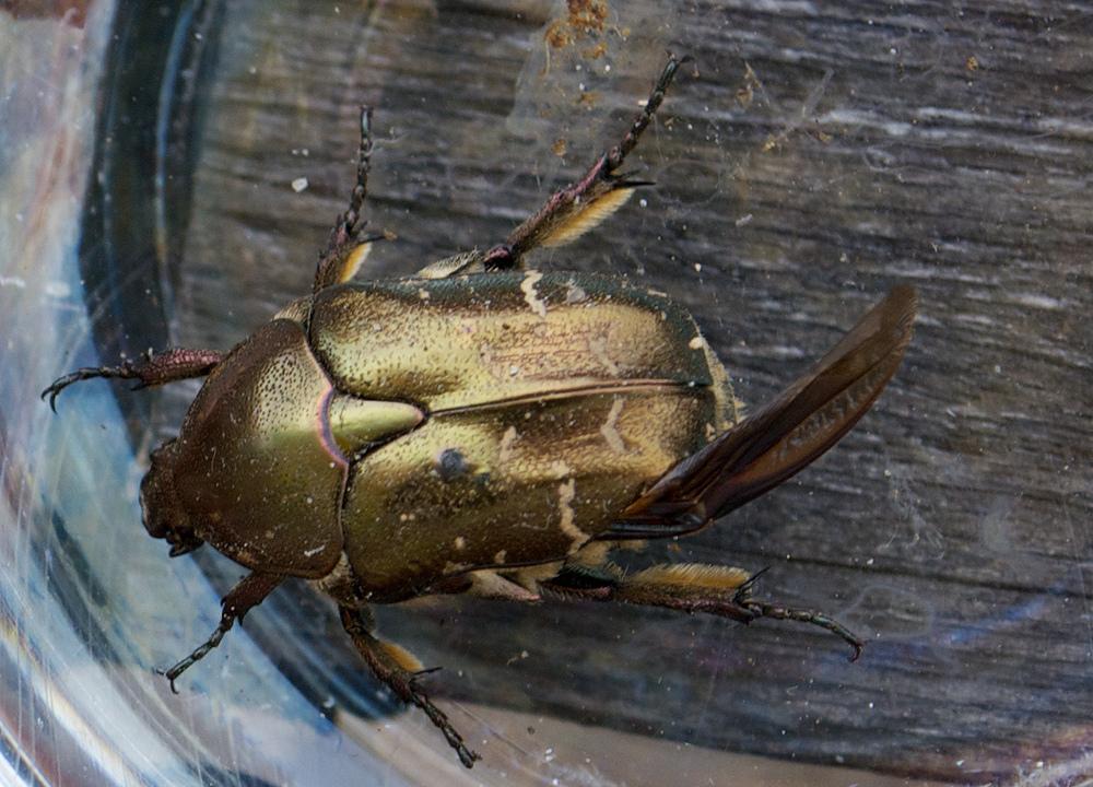 welchen Käfer
