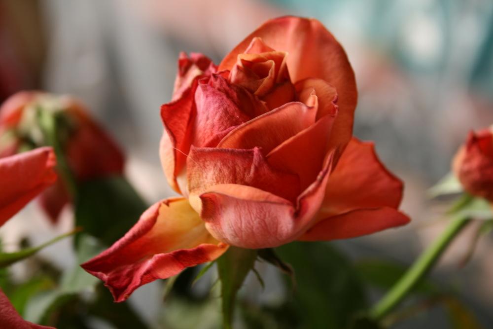 welke Rose,