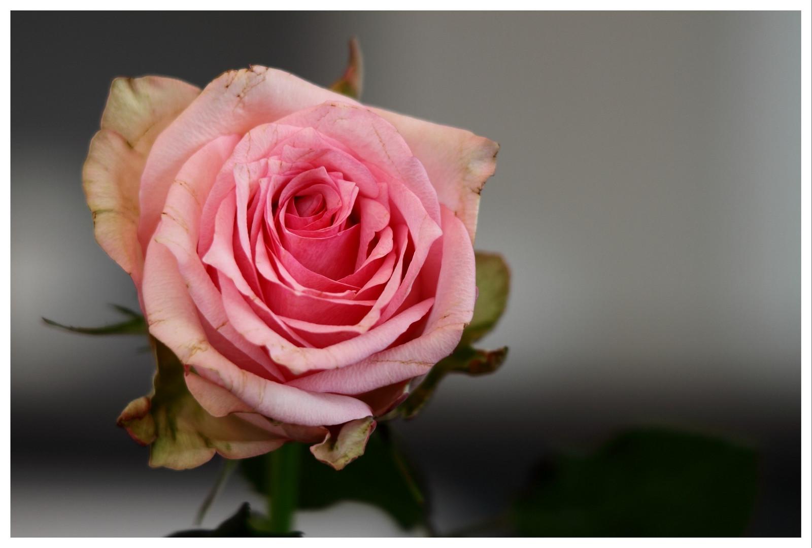 Welke Rose