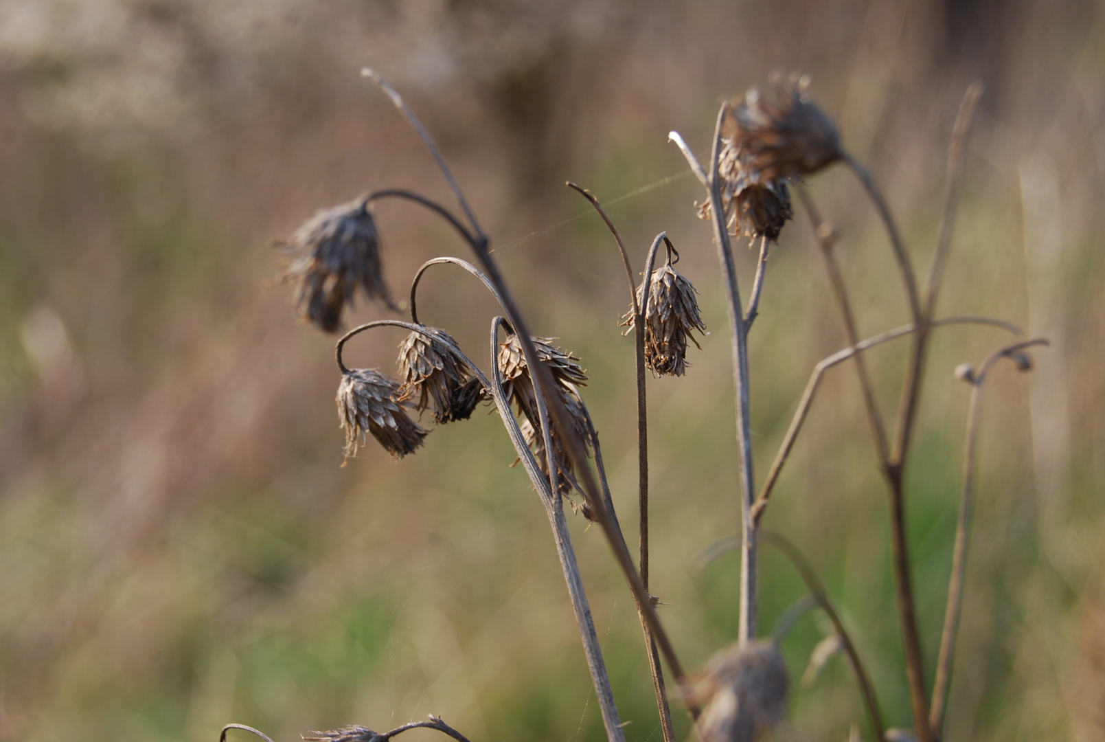 Welkes Gras