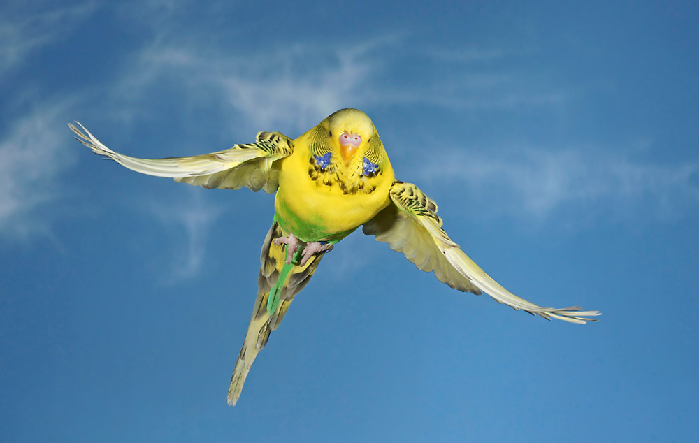 Wellensittich Foto & Bild | tiere, haustiere, vögel Bilder ...