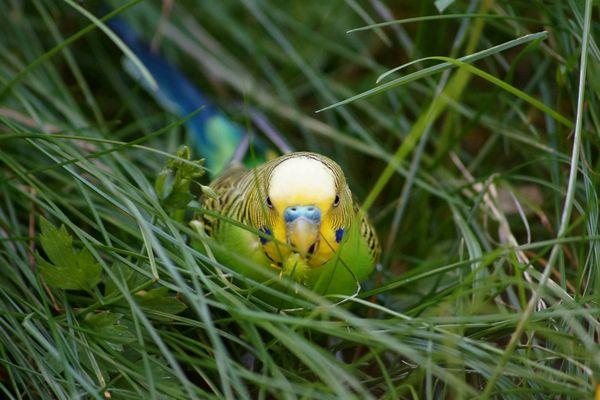 Wellensittich im Gras