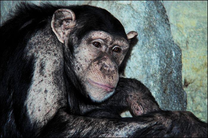 Weltschmerz bei Schimpansen