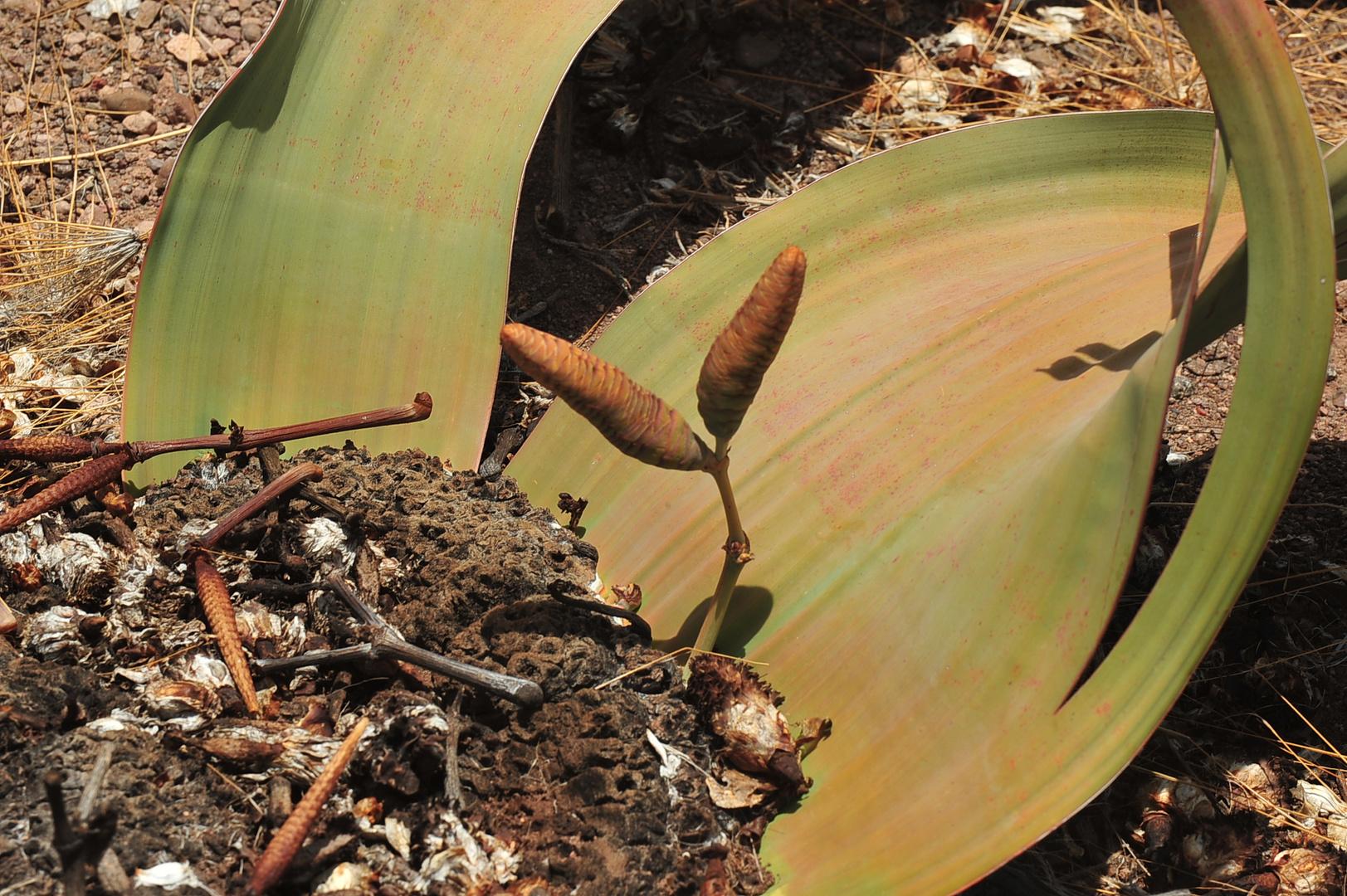 Welwitschia mirabilis - Female Plant