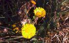 wenig beachtet blüht ganz früh im Frühjahr