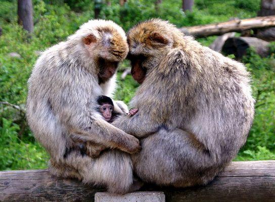 Wenigstens die Affen bekommen noch Nachwuchs