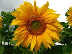wenigstens die Sonnenblume lacht
