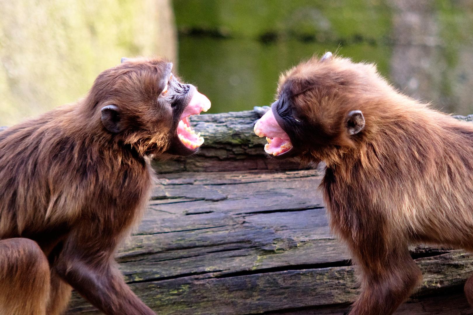 Wenn Affen sich was zu sagen haben.