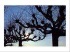 Wenn Bäume in den Himmel greifen...