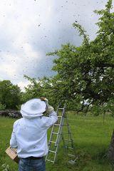 Wenn Bienen schwärmen