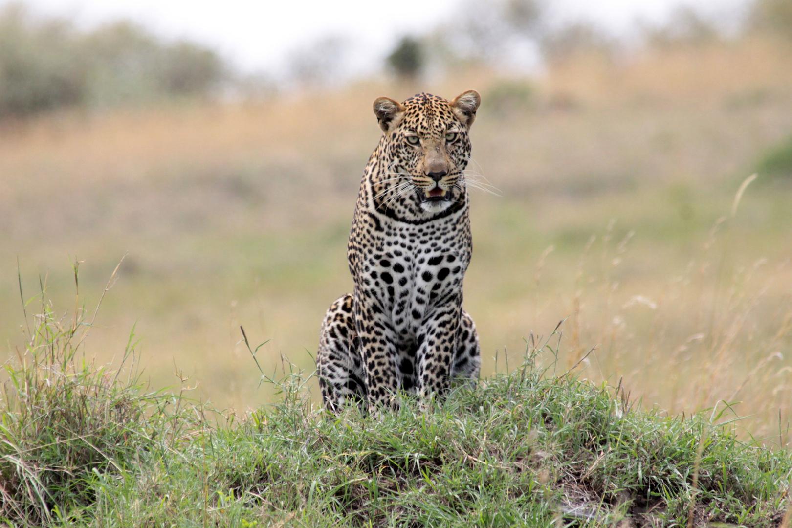 Wenn Blicke töten könnten (Leopard)