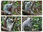 Wenn das Koalabärchen wach wird......