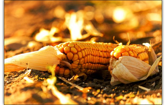 Wenn der Mais geerntet wird....