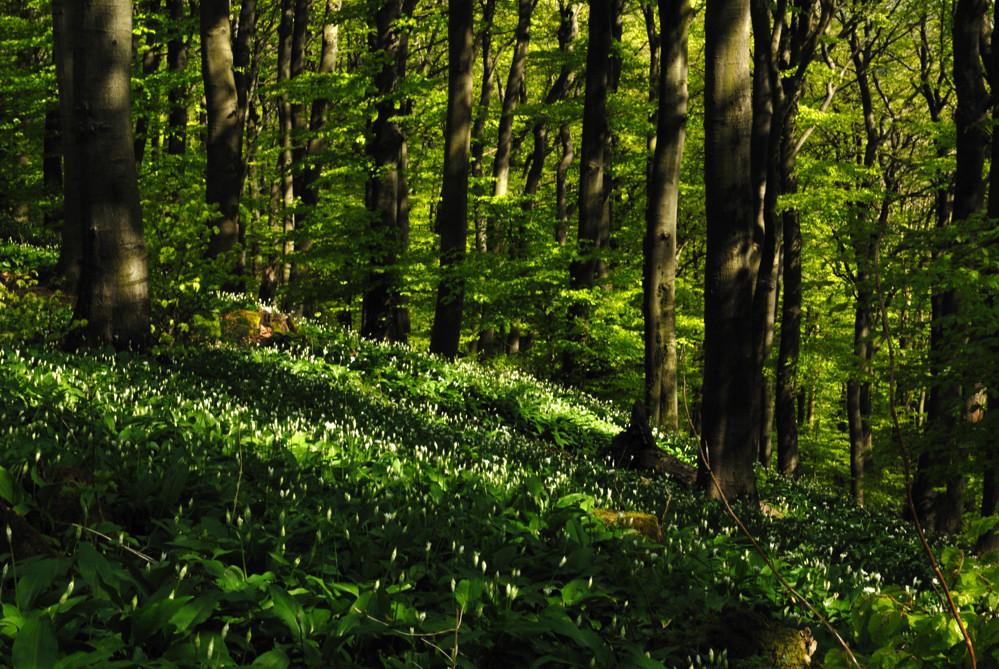 Wenn der Wald nach Knoblauch riecht,