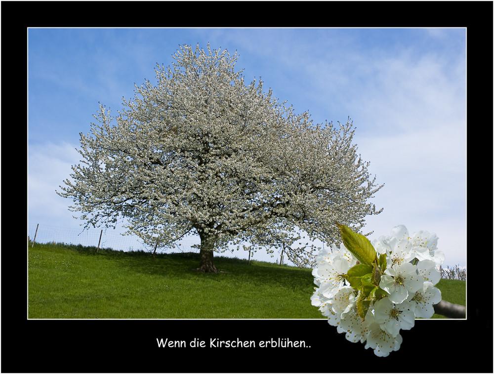 Wenn die Kirschen erblühen...
