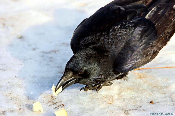 Wenn die Krähen hungrig sind, trauen sie sich auch näher zum Fotografen