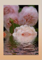wenn die Rosen baden gehen...:-)