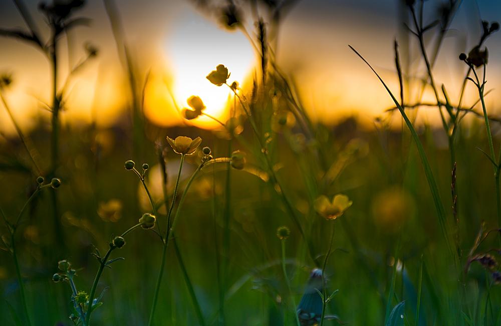 Wenn die Sonne im Feld versinkt...