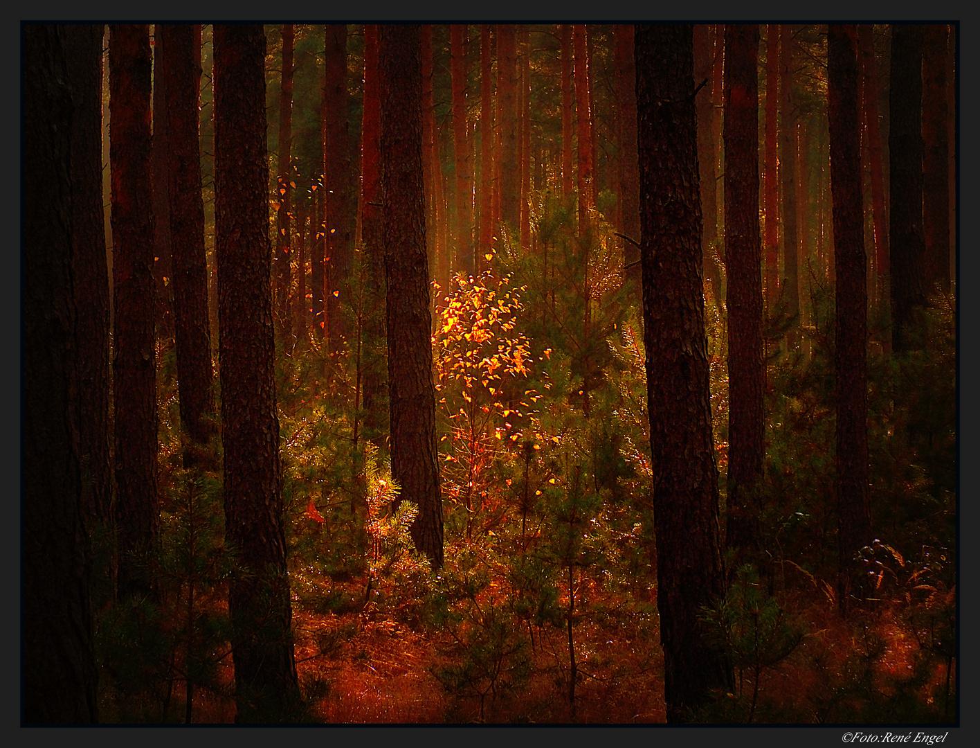 Wenn die Sonne im Wald versinkt
