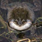 Wenn ein Frosch singt...