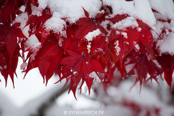 Wenn Herbstblätter vom Schnee überrascht werden ...