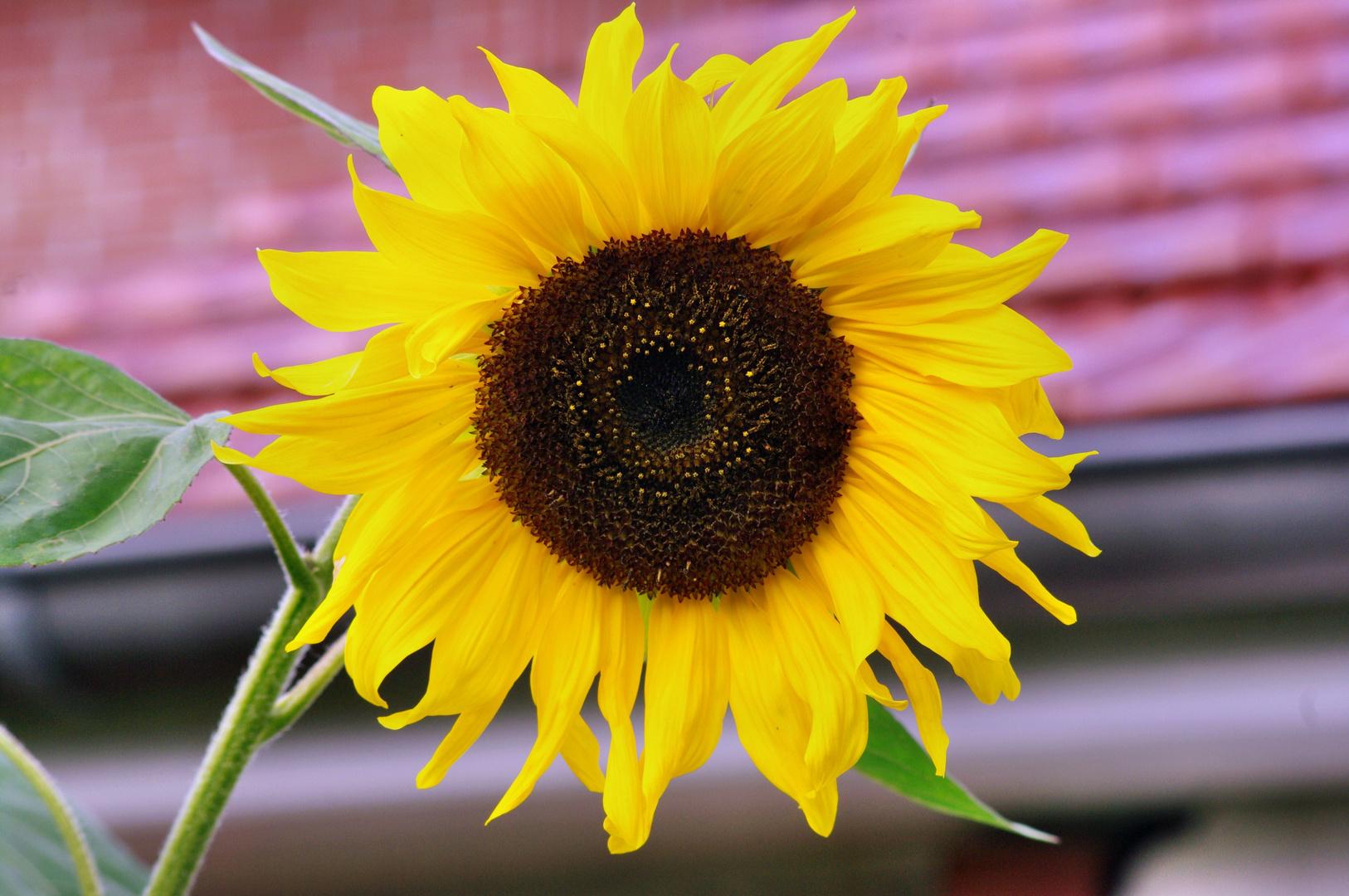 Wenn ich Sonnenblumen seh´....