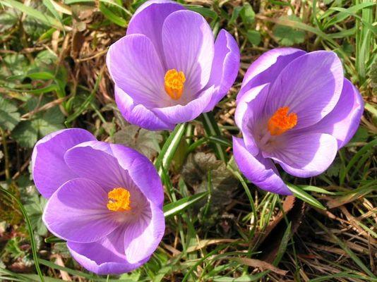 Wenn Krokusse blühen ist der Frühling nicht weit
