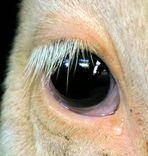 wenn Kühe weinen könnten .....