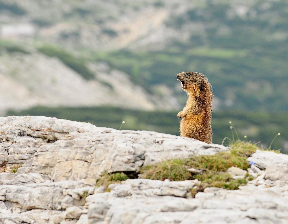 Wenn man sich ruhig verhält, findet man auch Murmeltiere in den Dolomiten.