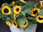 Wenn nicht Blume dann Sonnenblumen-Oel.