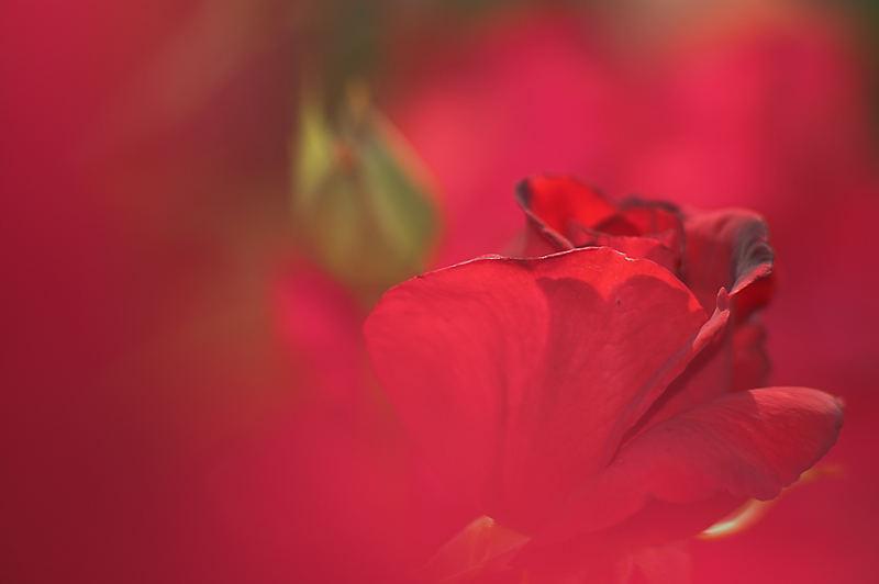 Wenn rote Rosen sprechen könnten...
