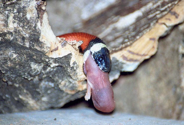 Wenn Schlangen schlingen 1