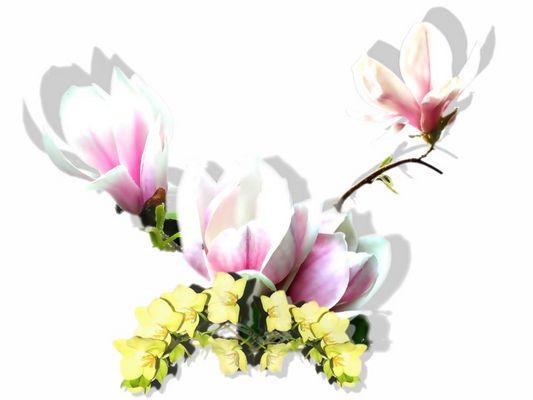 Wenn sich die Magnolie mit der Orchidee die Hand gibt.