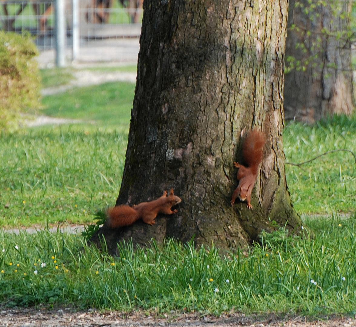Wenn sich zwei Eichhörnchen treffen...