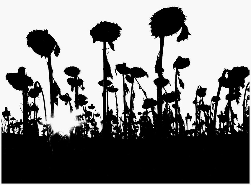 Wenn Sonnenblumen Trauer tragen