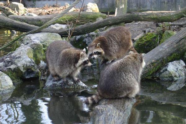 Wenn Waschbären sich beraten