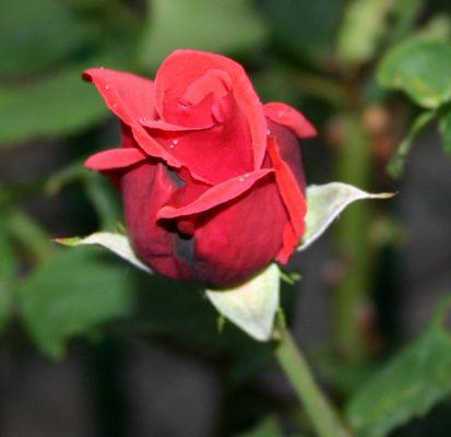 wer die Rose ehrt