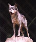 """Wer hat Angst vorm """"bösen"""" Wolf?"""