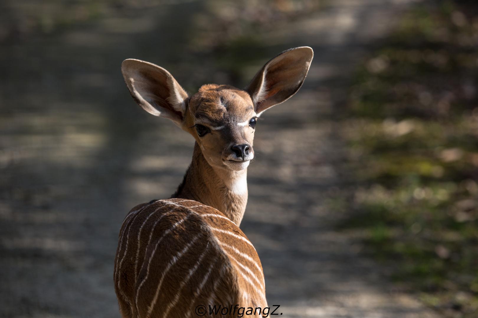 Wer hat große Ohren