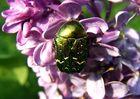 wer kennt den käfer ?