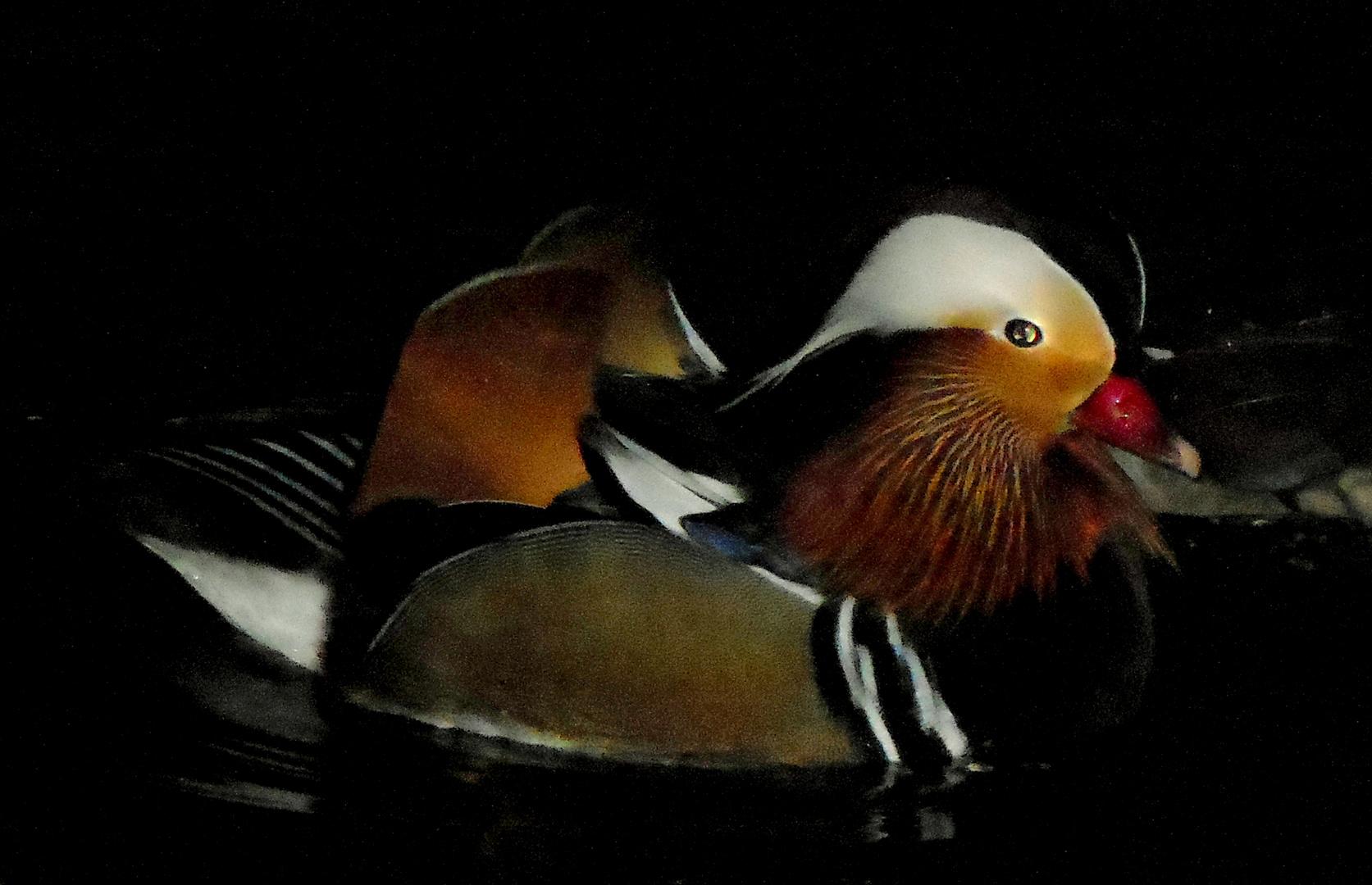 Wer kennt den Namen dieser Ente?